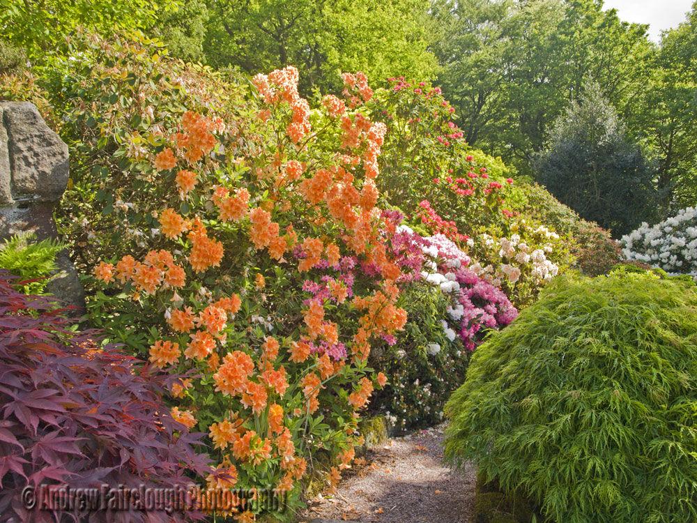 Azalea Walk - Lea Gardens