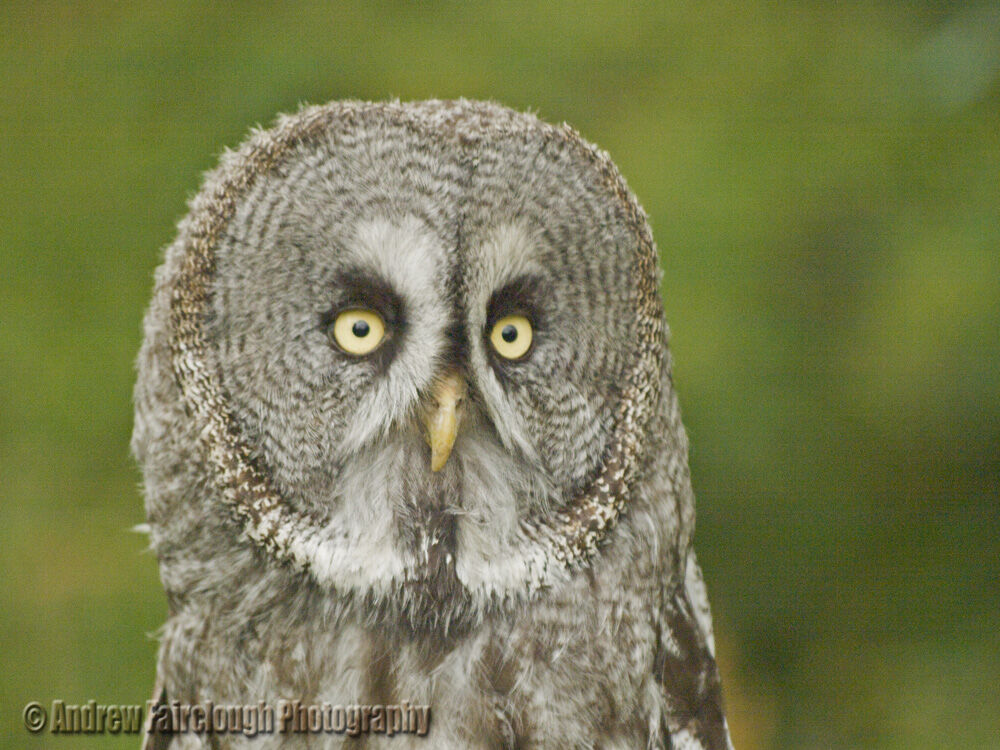 Portrait of a great grey owl (Strix nebulosa) looking directly into the camera.