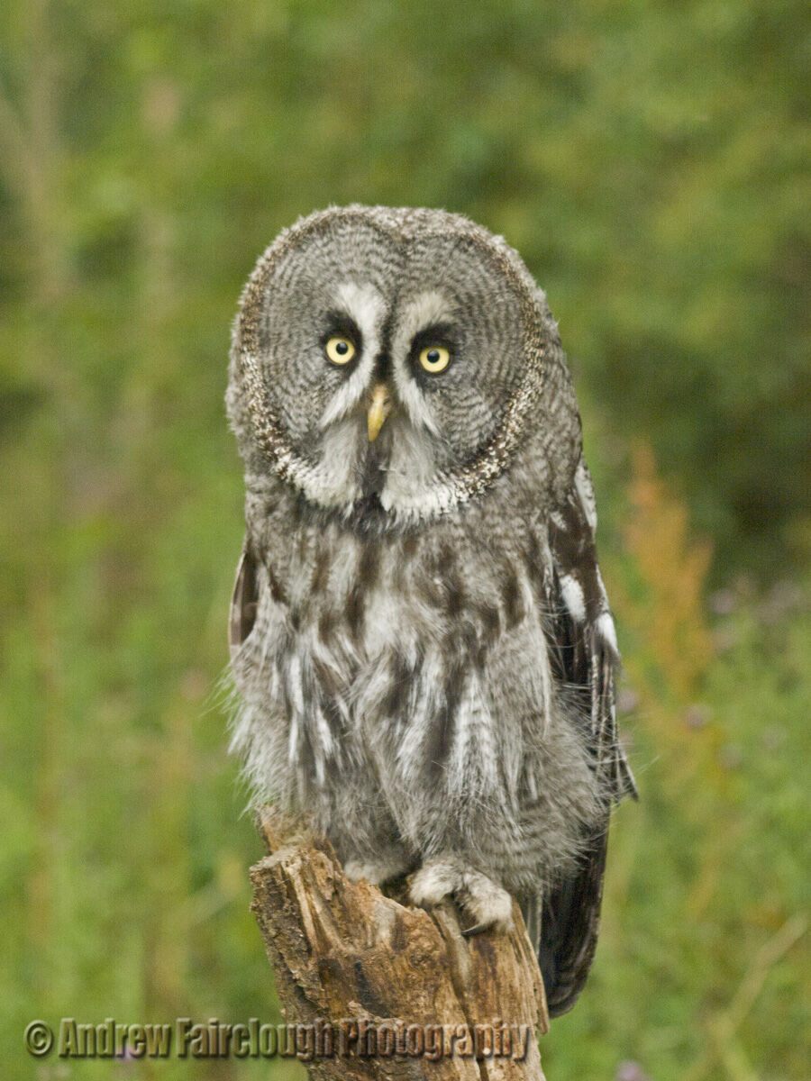 Great Grey Owl perched on a tree stump.