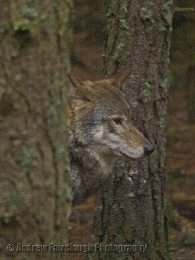 Eurasian Grey Wolf (Canis lupus lupus)