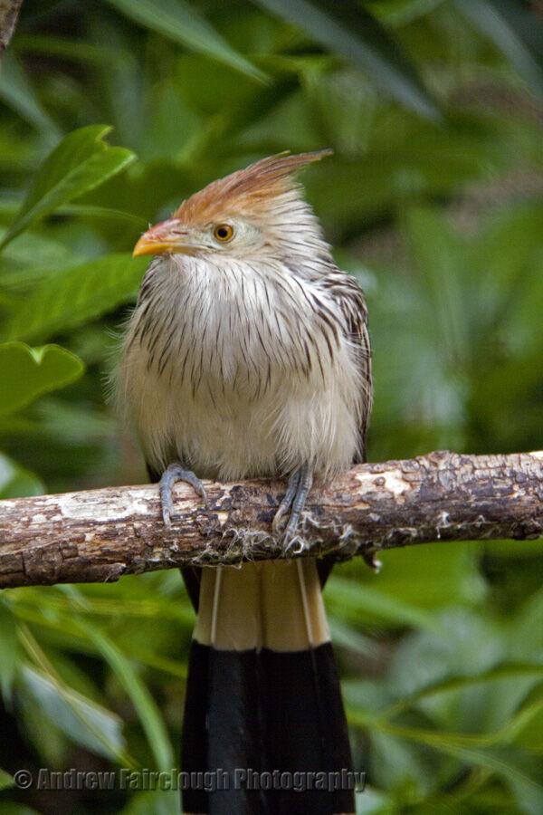 The Guira Cuckoo (Guira guira)