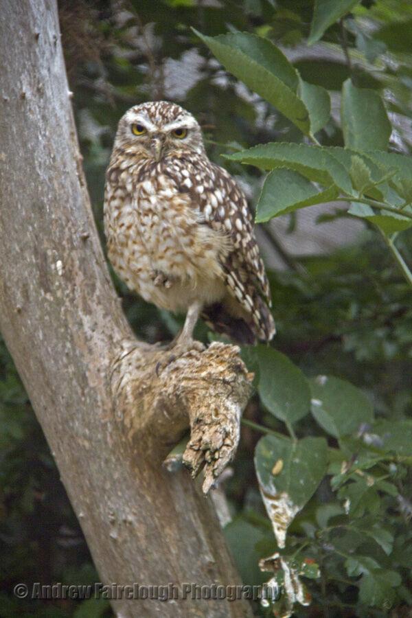 The little owl or the Owl of Minerva (Athene noctua)