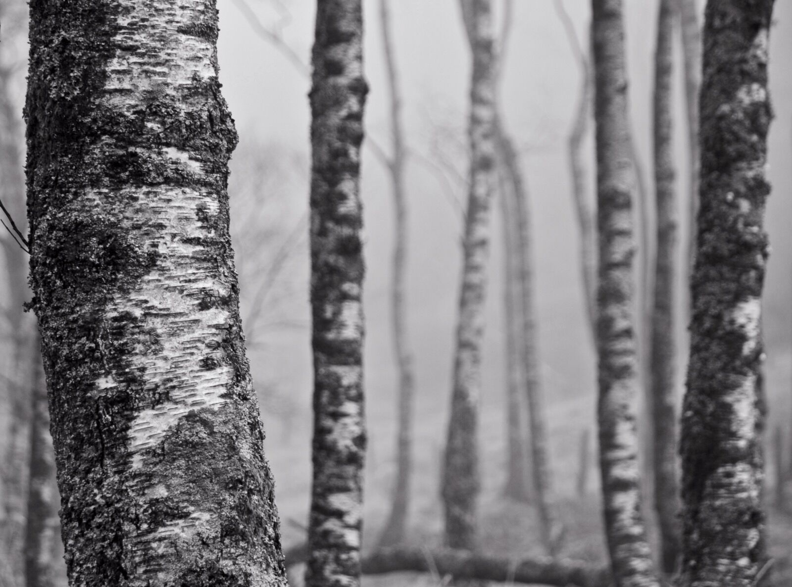 Silver Birches in Borrowdale