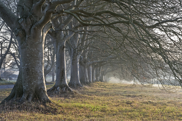 Beech Trees at Badbury Rings