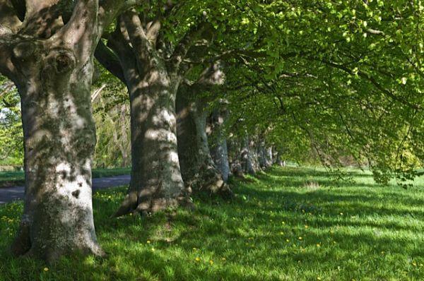 Badbury Rings Trees