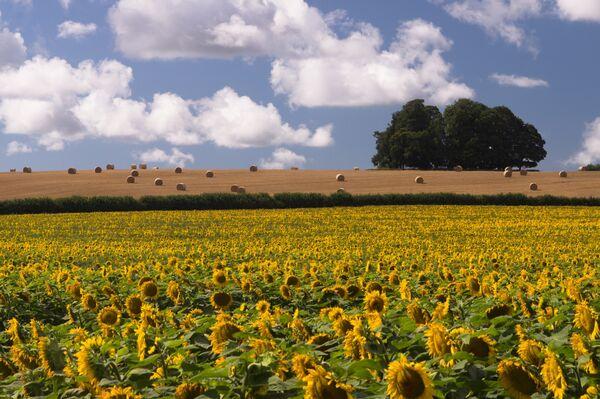 Bloxworth Sunflowers