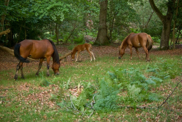 New Forest Ponies