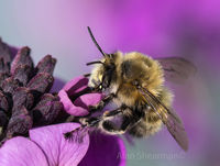 Hairy Footed Flower Bee