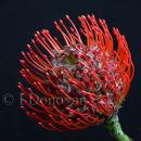 Protea Oincushion