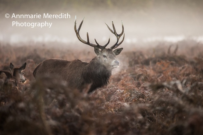 Red stag in the mist