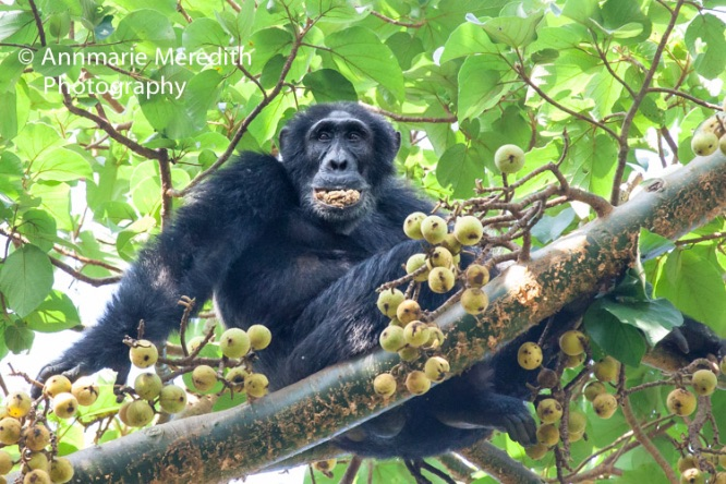 Chimpanzee eating figs