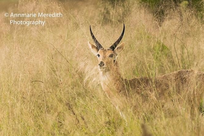 Common reed buck