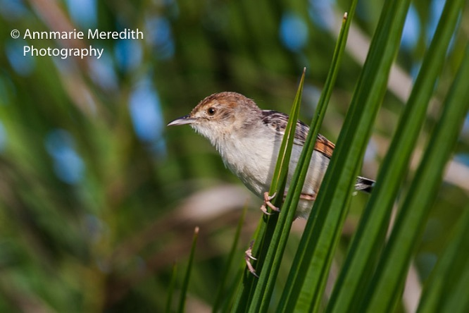 Fan-tailed cisticola