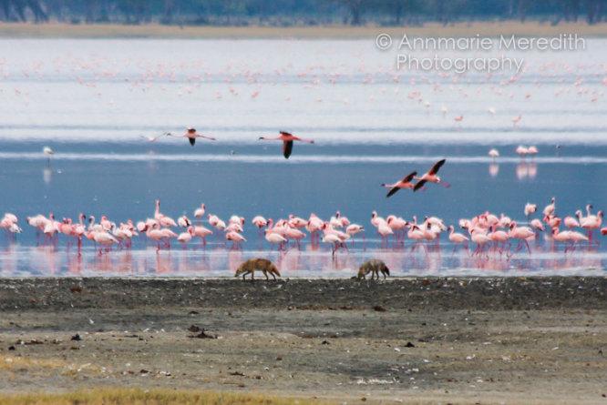 Flamingos and jackals