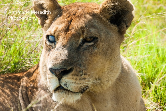 Silver eyed lioness