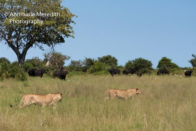 Lion hunting buffalo