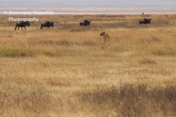 Lion and wildebeest