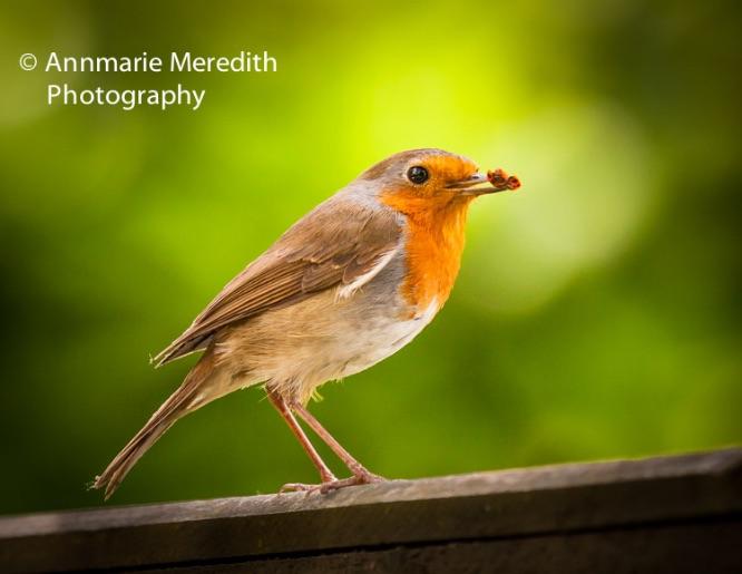 Robin with ladybird