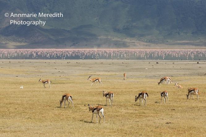 Thomson's gazelles and flamingos