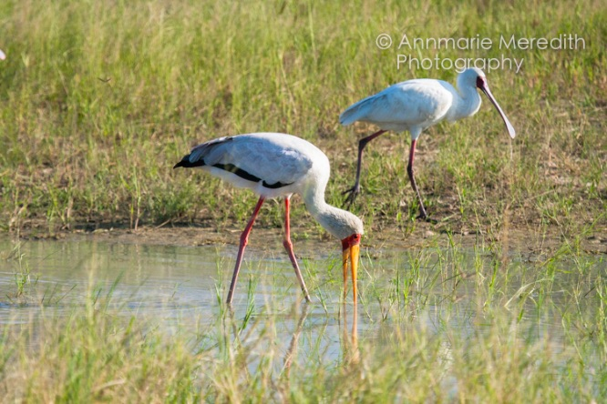 Yellow-billed stork and spoon-billed stork