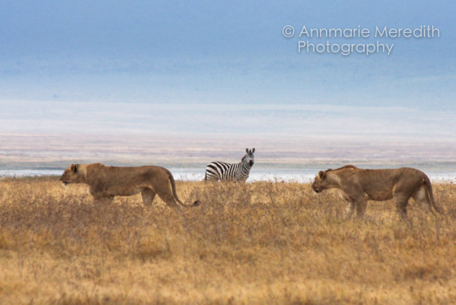 Lions and zebra