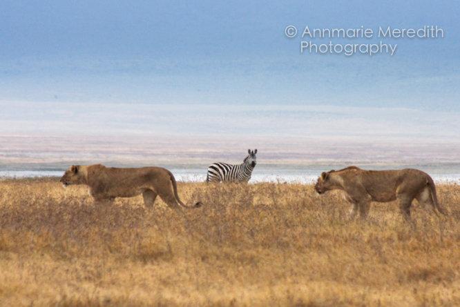 Lions and zebra
