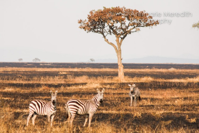 Zebra in scorched earth