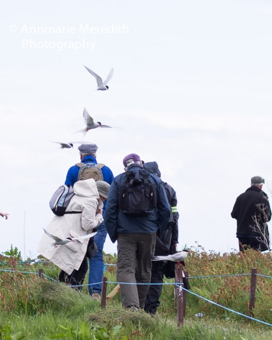 Arctic terns attacking visitors