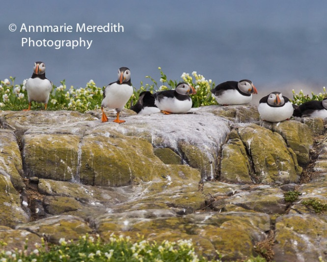 Puffins resting on rocks