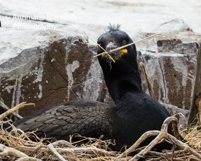 Shag building a nest