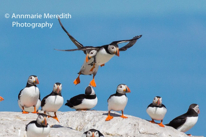 Puffins - mid-air collision
