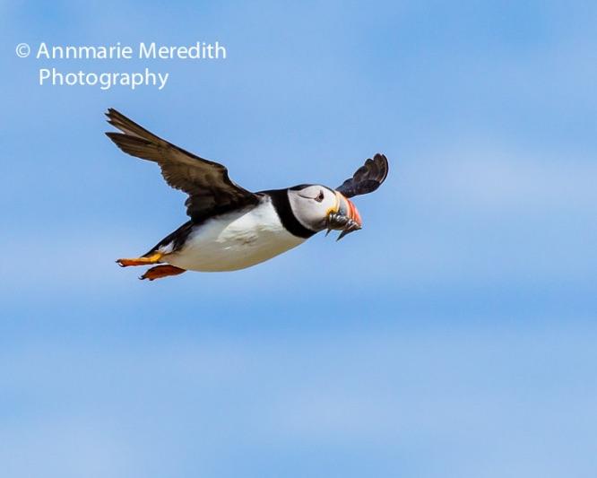 Puffin in flight with sandeels in bill