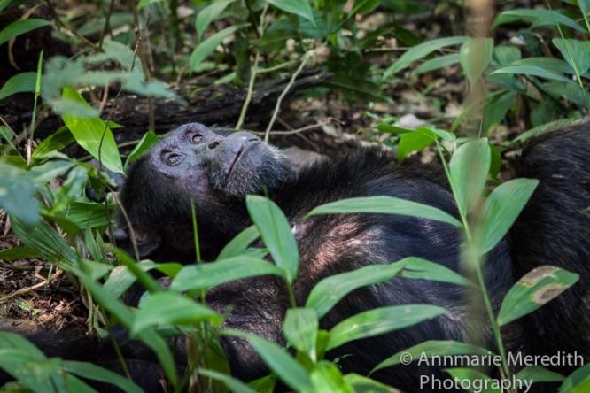 Chimpanzee - resting