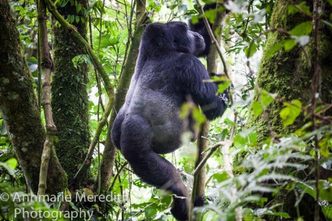 Silverback gorilla climbing tree