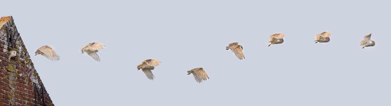 Owl in Flight 1