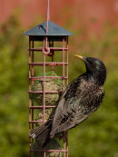 Starling with iridescent feathers