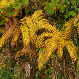 Autumn ferns - Argyll Scotland - www.whitehouseart.co.uk
