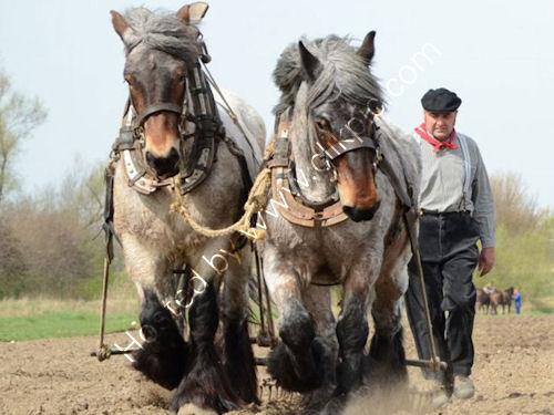 Belgian Trekpaard