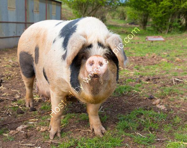 pig glos old spot
