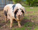 Farm Animals Rule