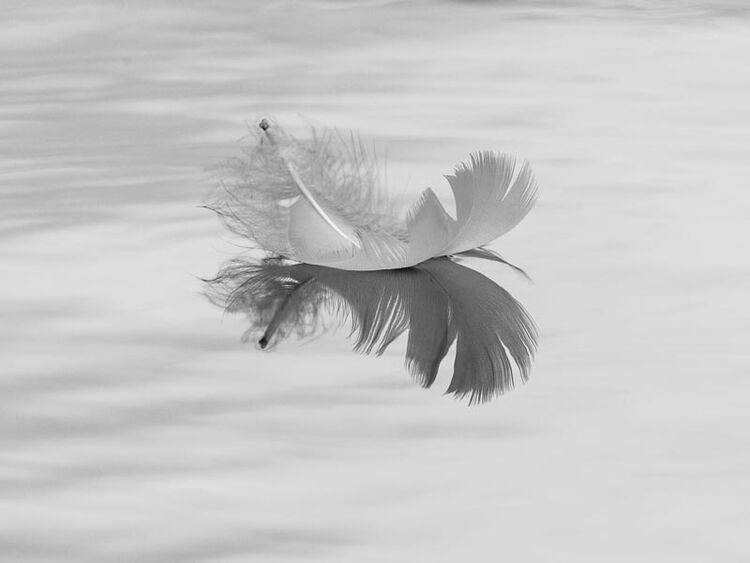 Monochrome feather on water