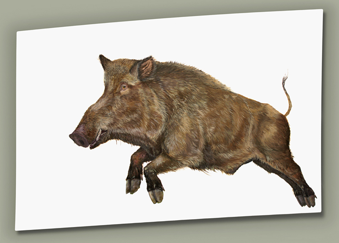 Chasing Wild Boar