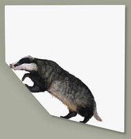 Digging In Badger