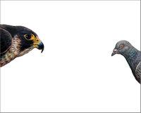 Top Predator - Falcon & Pigeon