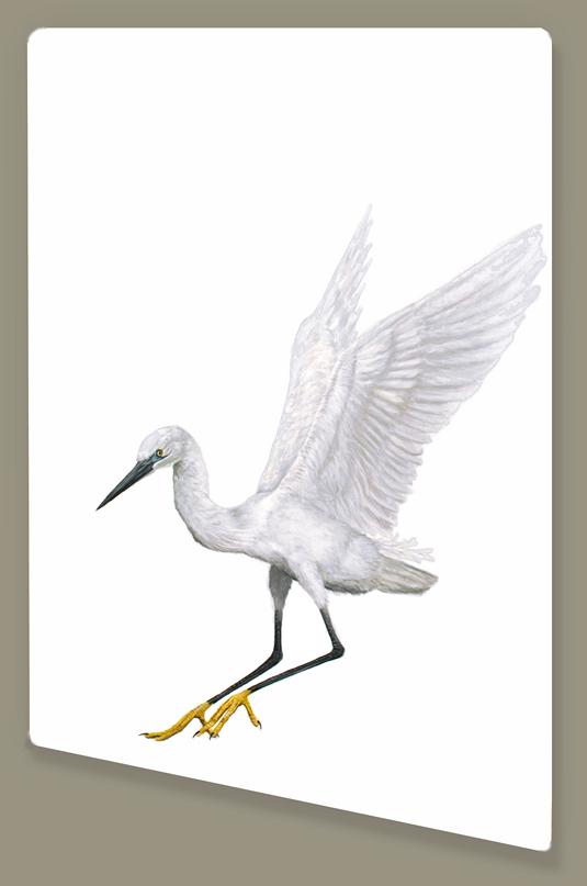 Returning Little Egret