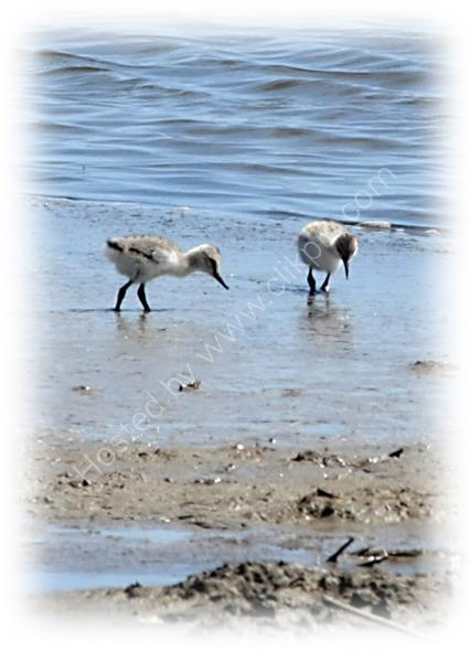 Avocet Chicks at Oare Marshes