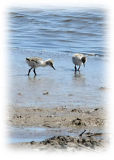 Avocet Chicks at Oare Marshes