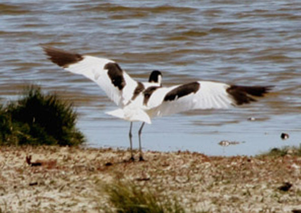 Avocet at Oare Marshes