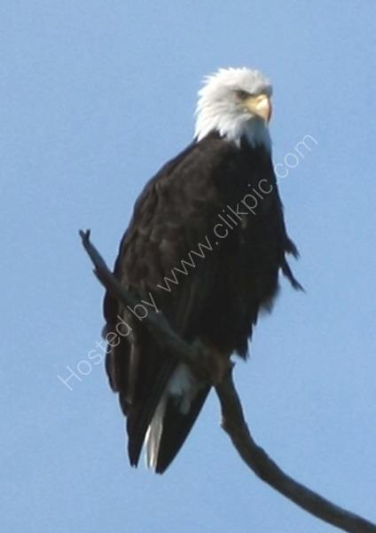 Bald Eagle (Canada)
