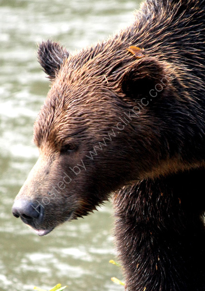 Brown Bear (Canada)
